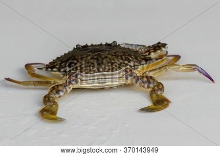 Front View Of Blue Manna Crab, Sand Crab. Flower Crab. Portunus Pelagicus Isolated On A White Backgr