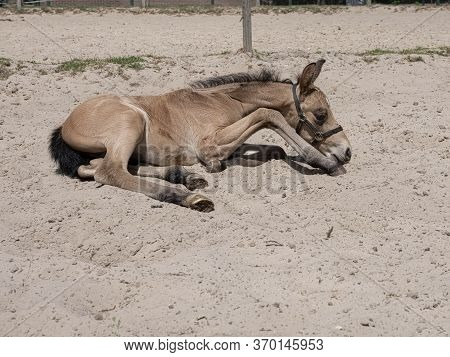 A Yellow Stallion Foal In A Horse Arena. The Foal Is In The Sand
