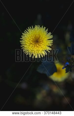 Group Of Beautiful Dandelions With Green Background And Copy Space