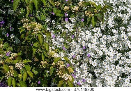 Close-up Of White Flowering Cerastium Tomentoseum Next To A Dogwood Shrub And Wild Geraniums