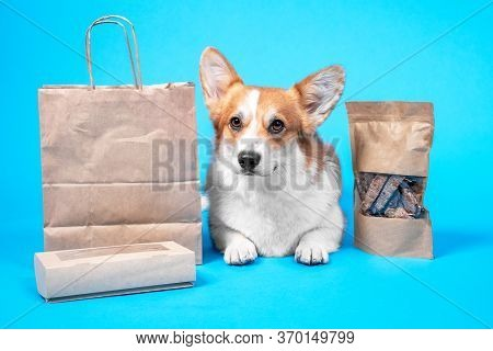 Obedient Welsh Corgi Pembroke Or Cardigan Lies On Blue Background, Craft Bags And Box Of Tasty Dried