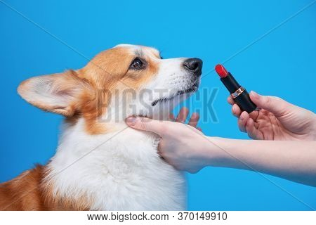 Owner Holds Red Lipstick In Hands And Is Going To Make Up Lips Of Obedient Welsh Corgi Pembroke Or C