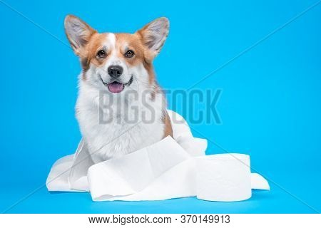 Obedient Smiling Welsh Corgi Pembroke Or Cardigan Dog Wrapped In Toilet Paper Sits Next To New Roll