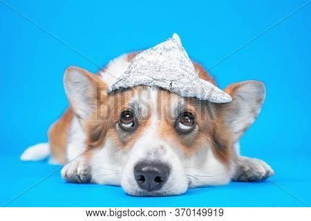Funny Welsh Corgi Pembroke Or Cardigan Dog With Grim Facial Expression In Foil Hat Lies And Looks Up