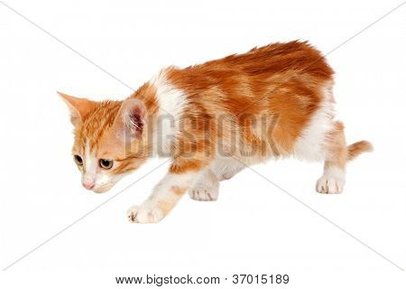 Adorable little cat searching isolated on white background. poster