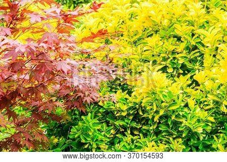 Golden Privet As A Eyecatcher In Front Garden