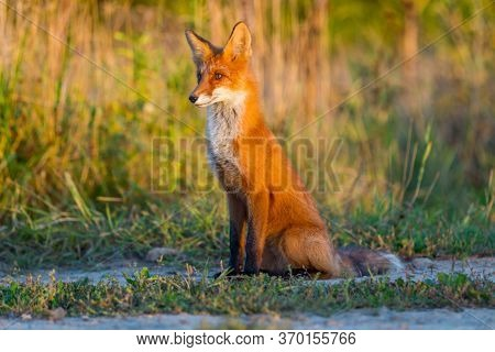 A Cute, Young, Fiery, Red Fox Cub Sits, Lit By The Evening Sun, Against The Background Of Grass. Loo