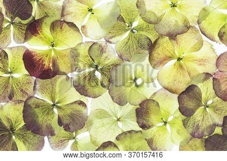 Collage Of Bigleaf Hydrangea, Common Hydrangea, Florist Hydrangea, Hydrangea (hydrangea Macrophylla)
