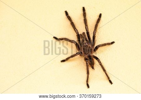 Forest Tarantula Shaggy Sitting On A White Wall In Clear Sunny Weather. Animals, Insects, Subtropics