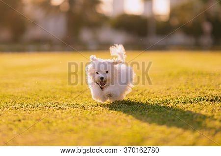 Happy Maltese Dog Running. A White Maltese Dog Running On The Green Grass, Sunset And Plants On Back