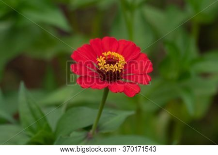 A Close-up Of A Beautifully Attractive Red Zinnia (zinnia Violacea), In The Garden.