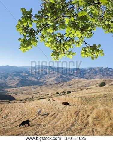sicilian landscape of Sicily in summer with oak foliage and herd of cow grazing stubble of wheat field