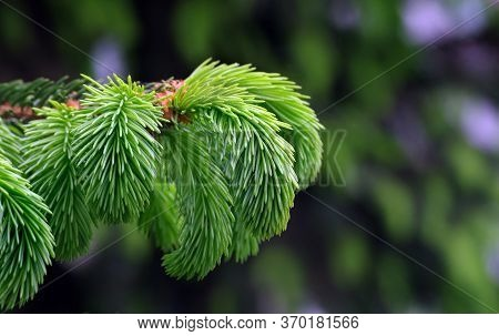Young Branches Of A Spruce Tree. Blooming Spruce. Spruce In Spring. Natural Green Background. Close