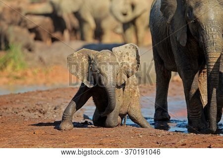 A cute baby African elephant (Loxodonta africana) playing in mud, Addo Elephant National Park, South Africa
