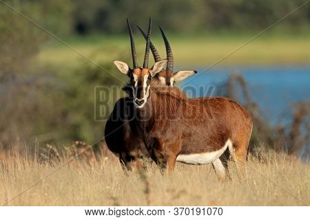 Endangered sable antelopes (Hippotragus niger) in natural habitat, South Africa