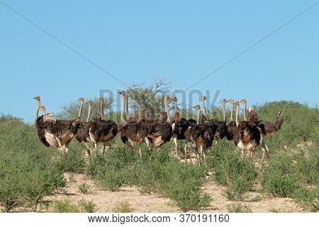 Group of ostriches (Struthio camelus) in natural habitat, Kalahari desert, South Africa
