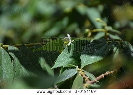 Small White Flower Of Jamaican Cherry Or Muntingia Calabura