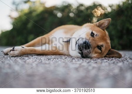 Calm Sad Dog Rest Lies On Green Landscape, Chilling Shiba Inu Leisure On Park, Pet Relaxing On Natur