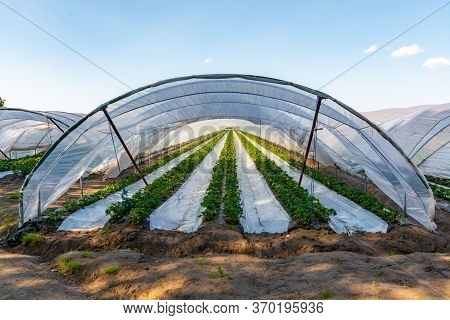 Cultivation Of Strawberry Fruits Using The Plasticulture Method, Plants Growing On Plastic Mulch In