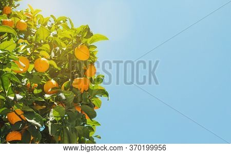 Orange Tree With Ripe Fruit In The Sunlight In Summer. Blue Sky In The Background. Landscaped Photog
