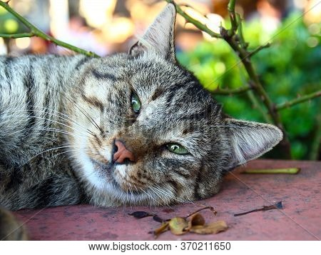Portrait Of Slumbering Fat Cat. Stray Tabby Cat Sleeping On Street. Selective Focus