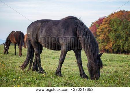 Autumn Portrait Of Beatutiful Frisian Mare. Black Friesian Horse.