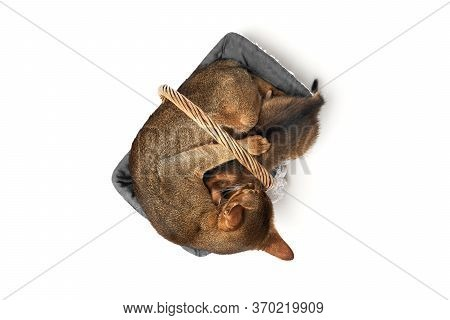 Brown Abessin Cat With A Kitten Sleeping In Its Soft Cozy Basket On A White Background