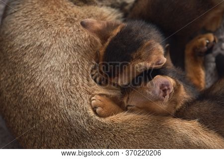 Two Little Kittens Suck Milk At A Cat's Mom