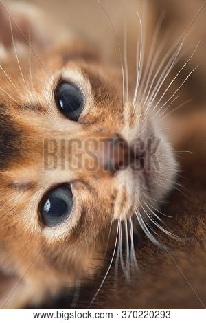 A Relaxed Cat Is Looking At The Camera Abessin Thoroughbred Kitten