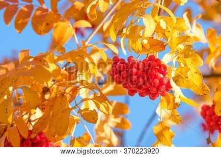 Yellow Beautiful Autumn Leaves Of Mountain Ash And Red Berries Against The Sky. Autumn Berries Of Wi