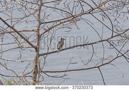 Vesper Sparrow Singing In A Tree In Teh San Bernard Wildlife Refuge In Texas