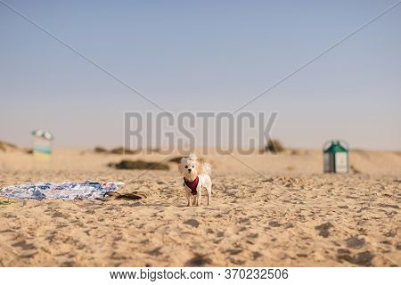 Funny Wet Maltese Bichon Is Wearing Her Red Collar And Standing On The Sandy Beach And Looking In Th