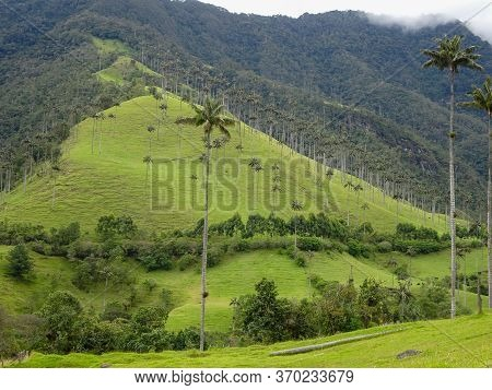 Palm Trees At Cocora Valley In Colombia