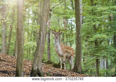 Fallow Deer - Dama Dama Stands Among Green Trees. Wild Foto.