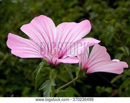 Delicate Pink Flowers Of Mallow. Malva Alcea (greater Musk-mallow, Cut-leaved Mallow, Vervain Mallow
