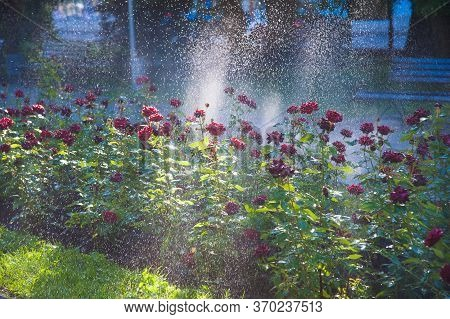 Watering Lawn And Rose Flowers In The Morning In Park