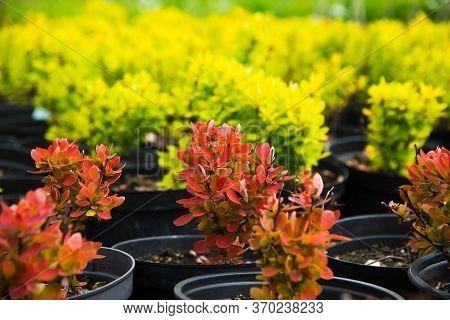 Saplings Barberry Shrubs In Pots In Plant Nursery