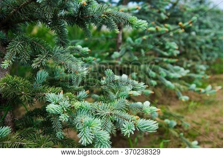 Saplings Coniferous Trees In Pots In Plant Nursery
