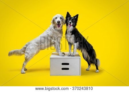 Two Happy Dogs: Border Collie And Golden Retriever On Yellow Solid Background