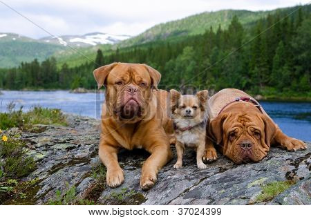 Three dogs at the mountain river bank, Finnmark, Norway