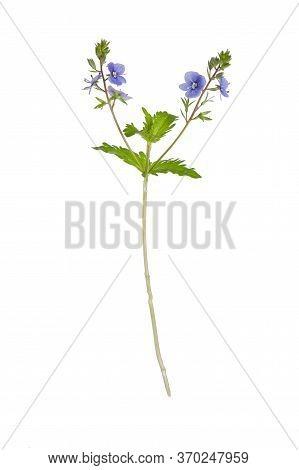 Wood Cranesbill (geranium Sylvaticum) Isolated On White Background.