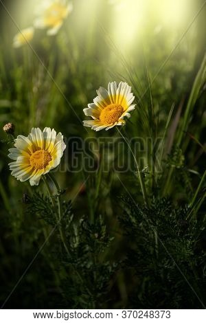 Glebionis Coronaria Chrysanthemums, A White And Yellow Daisy. Common Names: Garland Chrysanthemum