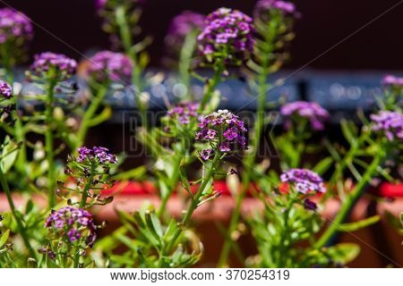 Violet Lobularia Maritima Flowers In Natural Light