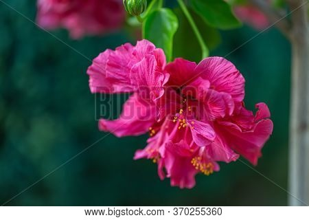 Close-up Of Red Purple Flower Hibiscus With Yellow Stamens And Pollen And Blurred Natural Green Back