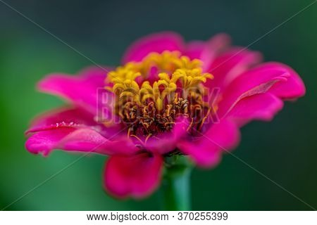 Macro Pink Flower With Yellow Stamens And Pollen And Blurred Natural Dark Green Background. Shallow