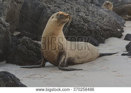 Galapagos Sea Lion On A Beach With A Rock In The Background