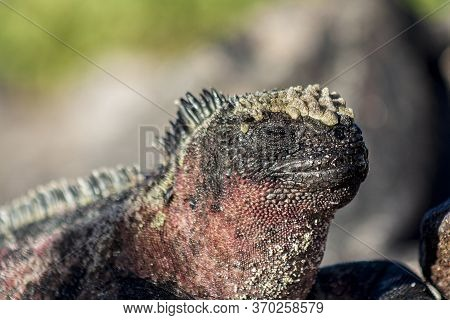 Galapagos Land Iguana Close Up View Low Depth Of Field