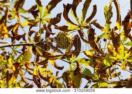 Beautiful Natural Chestnut Foliage That Changed Color In The Autumn Season, Close-up Of Chestnut Tre