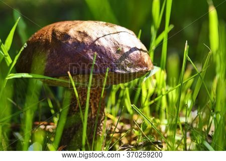 Beautiful Mushroom Hog Growing In The Grass Color