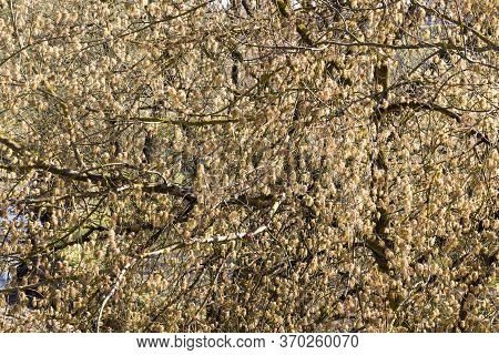 A Maple Tree Blooming In Spring During The Warming And The Beginning Of A New Season, Close-up On Th